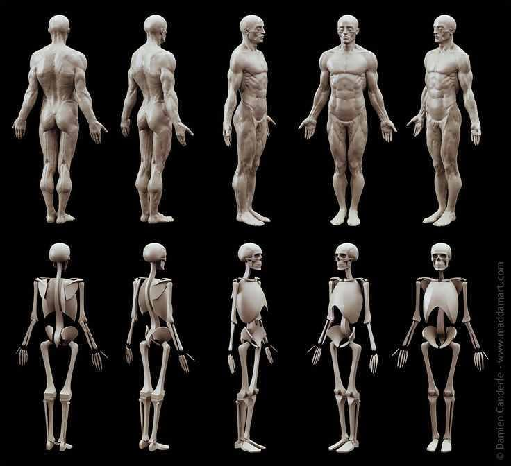 71 best Male Anatomy & Reference images on Pinterest | Human anatomy ...