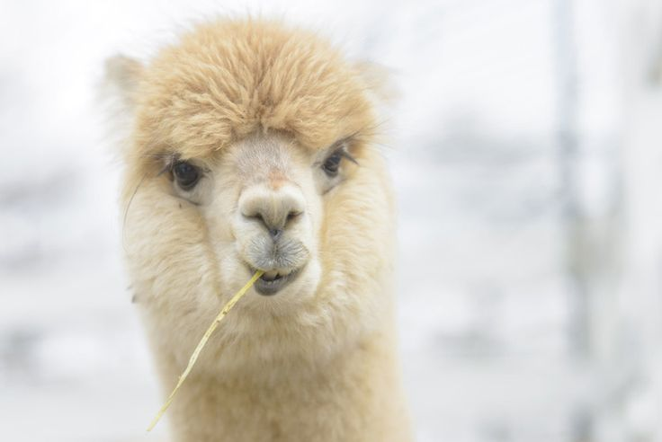 Discount Adopt an Alpaca for just £9.00 Choose an alpaca to adopt!  Includes an adoption certificate and a photo of your chosen alpaca.  Plus a welcome letter with alpaca facts and information about the herd.  Receive regular updates on how your alpaca is doing at Charnwood Forest.  Upgrade to include a meet and greet experience on designated dates. BUY NOW for just £9.00