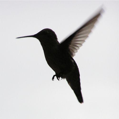 Black Flying Hummingbird Tattoo Design