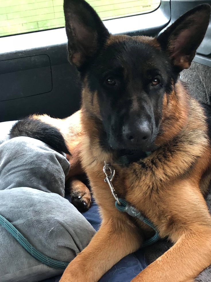 Xxon is an adoptable german shepherd dog searching for a forever family near Seattle, WA. Use Petfinder to find adoptable pets in your area.