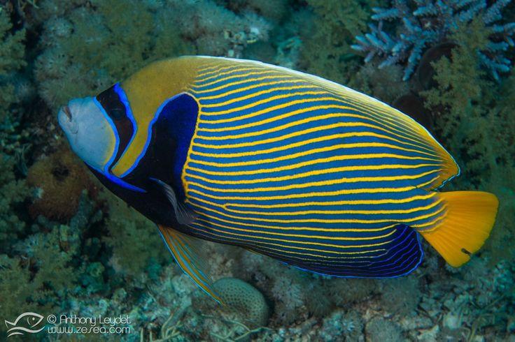 En Mer Rouge, les poissons anges empereur évoluent au milieu des dédales coralliens, pour le plus grand plaisir des plongeurs et photographes !