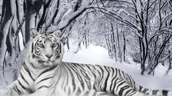 Beyaz Kaplan  #wallpaper #kaplan #beyaz #tiger #white #kar #snow