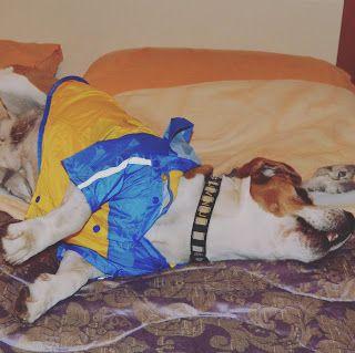 MammamiaDIY Cartamodelli/Patrones gratis: DIY Patrones GRATIS: Impermeable o chaqueta para perro