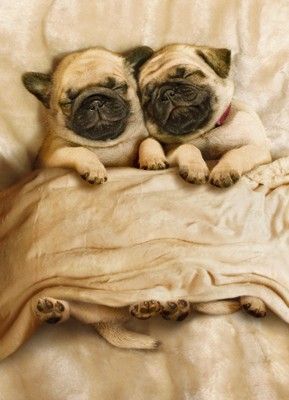How could I not re-pin?!: Snuggles, Pugs Puppies, Dogs, Pug Puppies, Pets, Pugs Life, Sweet Dreams, Sleepy Pugs, Adorable Animal