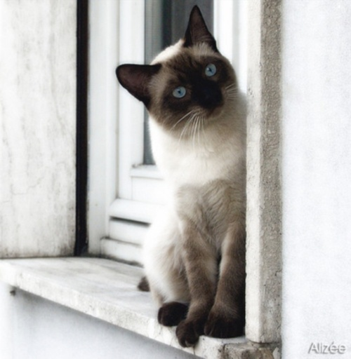 ..Siam Cat, Siamese Cats, Funny Cat, Pets, Blue Eye, Blue Cake, Siam Kitty, Popular Pin, Animal