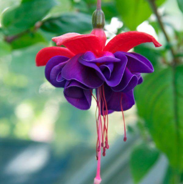 Dark Eyes Lady S Eardrops Fuchsia Plant Growjoy Com Fuchsia Plant Fuchsia Flower Fuchsia Flowers