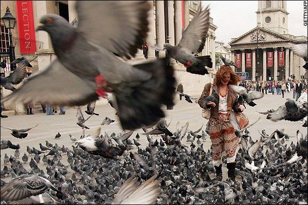 Pigeon - Wikiality, the Truthiness Encyclopedia