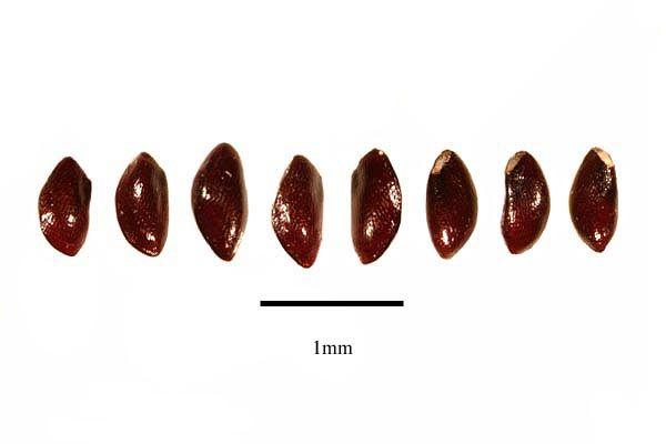 http://www.ars-grin.gov/npgs/images/sbml/Rhipsalis_kirbergii_seeds.jpg