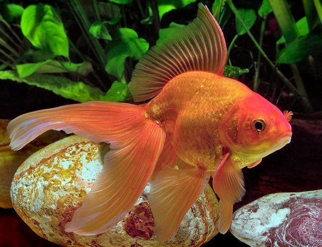 Fancy Red Fantail Goldfish For Sale At Azgardens Com Since 1987 America S Premier Tropical Fish Wholesaler Fantail Goldfish Goldfish Fish