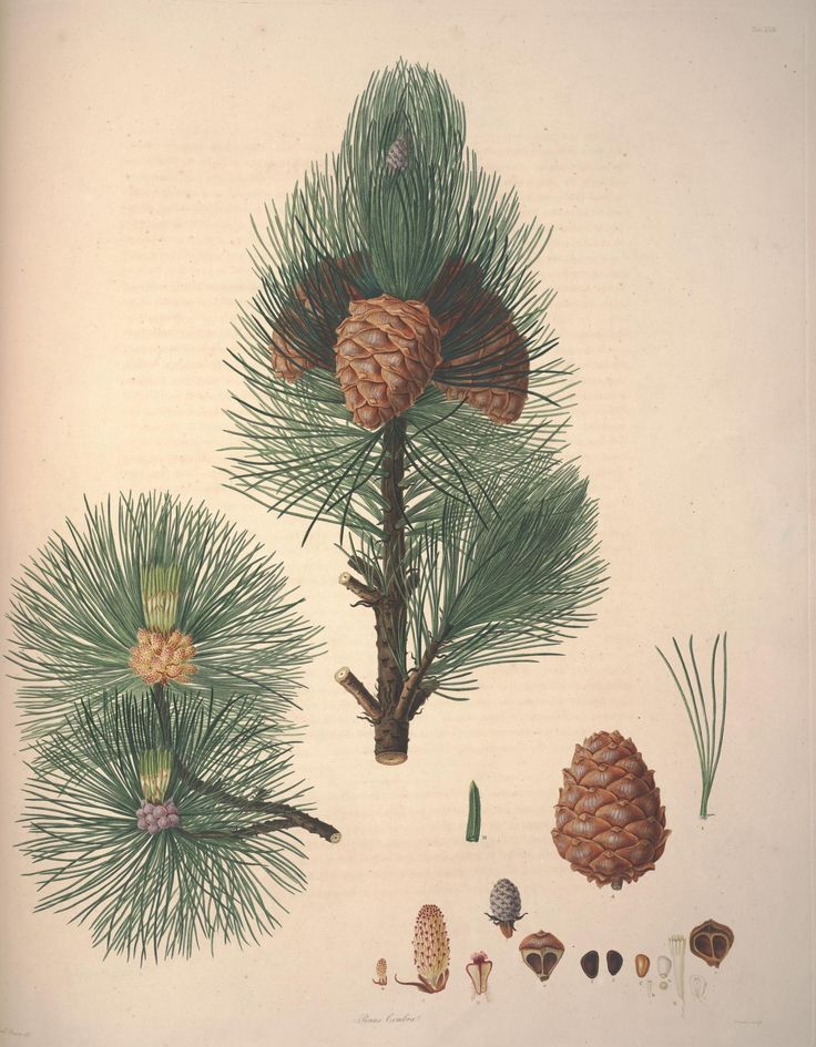 Pinus cembra - A description of the genus Pinus : - Biodiversity Heritage Library