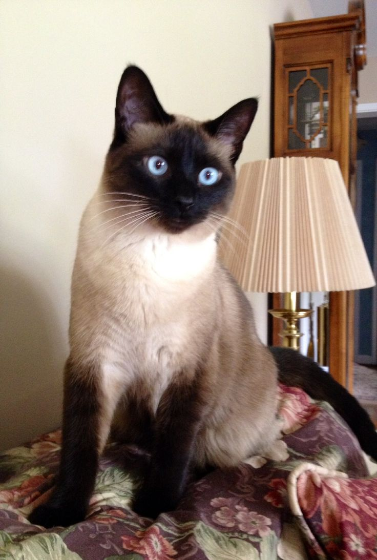 Fanny my Seal Point Siamese cat