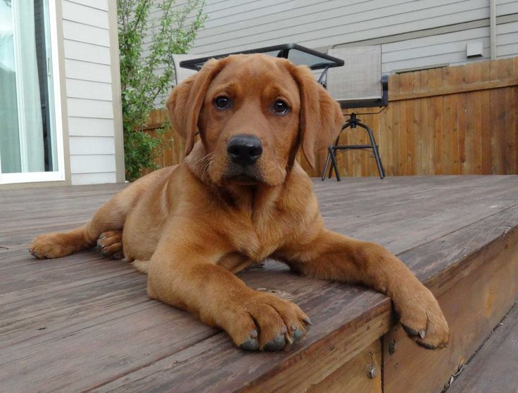 I don't think I'll ever own another breed of dog. Fox red labs are my favorite.
