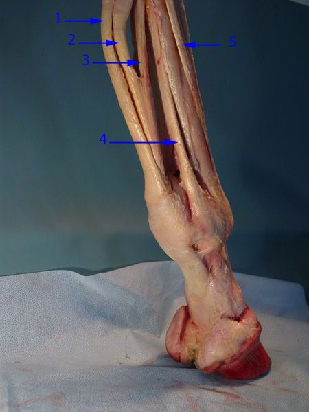 The deep digital and superficial flexor tendons track down the back of the equine leg.