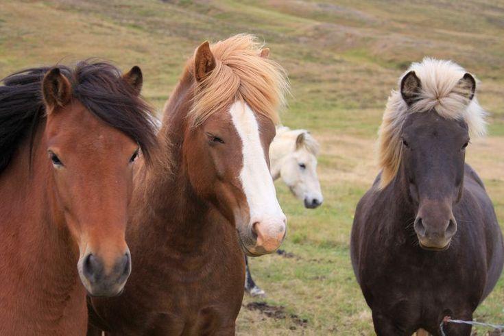 Icelandic Horses aka Viking horses