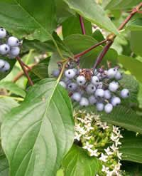 Summer - Red Twig Dogwood Shrub-Cornus sericea - Oval leaves; clusters of small white flowers, followed by white to bluish berries favored by birds. Leaves turn red in the fall, bare red branches providing colorful contrast in winter.