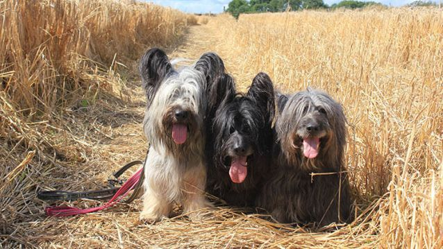 Skye Terrier: The origin of the Skye terrier is connected with a shipwreck. In the early 1600's a Spanish ship came to grief against the rocks of the island of Skye in the  Scottish Hebrides. Among the