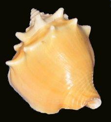 Strombus Pugilis-Fighting Conch