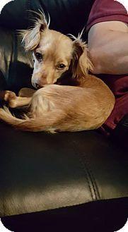 Tracy, CA - Dachshund/Papillon Mix. Meet Jasper, a dog for adoption. http://www.adoptapet.com/pet/15676590-tracy-california-dachshund-mix