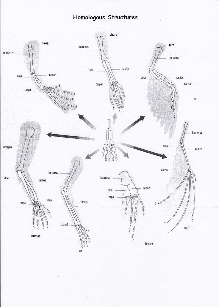 Strutture omologhe: strutture anatomiche di specie diverse che hanno un'origine evolutiva comune, osservando l'arto posteriore delle specie rappresentate si può notare la presenza degli stessi tipi di ossa.                                                                                                                                                                                 More