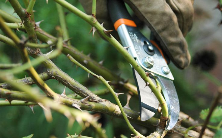 It's important to trim woody plants to keep them healthy and attractive, but knowing when + how is key.