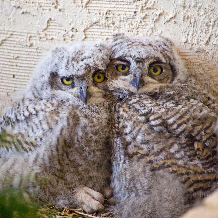 """mokacahuete: """"  Deux Oisillons Grand-duc d'Amérique ou Oisillons Grand-duc de Virginie / Great Horned Owl chicks .  Bubo virginianus (Gmelin, 1788) : - Grand-duc d'Amérique - Grand-duc de Virginie ; - Great horned owl - Tiger owl ; - Búho cornudo -..."""