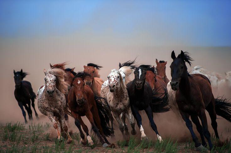骏马奔驰 - 摄于内蒙古锡林郭勒凤凰马场