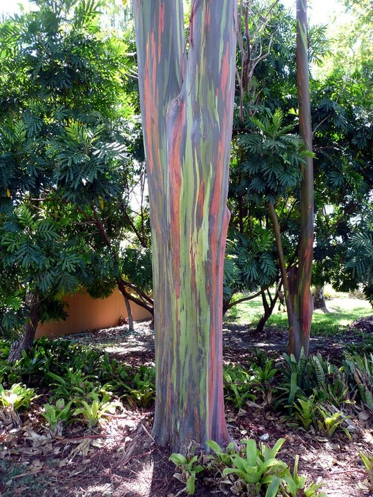 The Rainbow Eucalyptus (Eucalyptus deglupta) or Mindanao Gum is the only species of Eucalyptus tree found in the northern hemisphere. As if that weren't extraordinary enough, the up to 70 meters tall tree also shines in the colors of the rainbow, its bark can take on a yellow, green, orange and even purple shading.