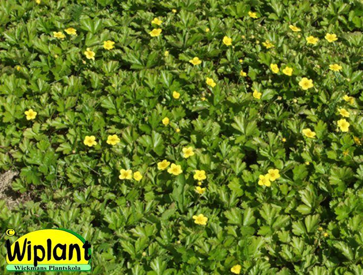 Waldsteinia ternata, Gullgröna. Vintergrön marktäckande perenn. Gula blommor på våren. Läge: sol-skugga. Höjd: 0,1-0,2 m.