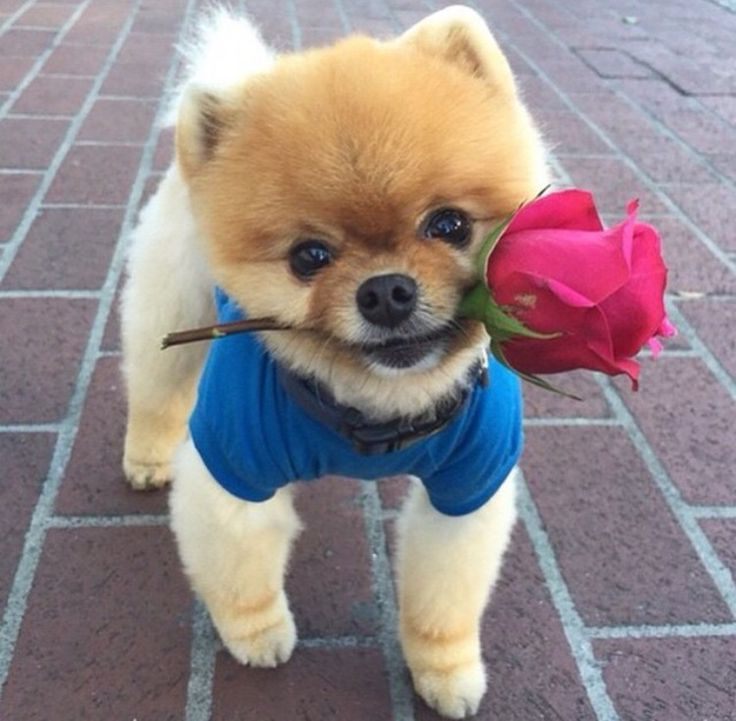 Adorable little puppy giving you a rose!