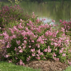 Common Garden Flowers Pink 248 best plants for zone 2-3 images on pinterest | garden plants