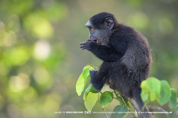 Macaco azul de Angola (Cercopithecus mitis mitis). Uma sub-espécie endémica (exclusiva) de Angola. Fotografia tirada na floresta de mangal ao longo do rio Kwanza perto da foz. Província do Bengo. Também conhecido como Macaco Plutão de Angola. Sinónimos em Latim: diadematus, dilophos, leucampyx, nigrigenis, pluto.