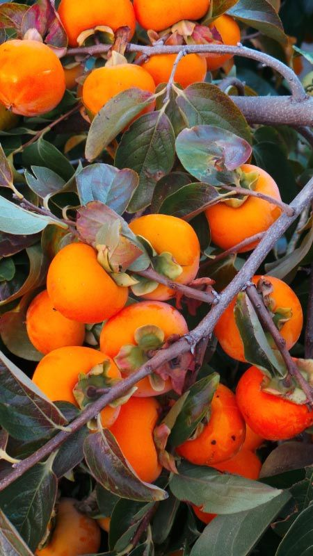 Fruit fresh from the persimmon tree. Photo by Sonia Di Benedetto, article for think-tasmania.com