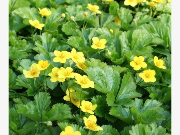 Die besten immergrünen Bodendecker Bodendecker, Teppiche und - gartenpflanzen winterhart immergrun
