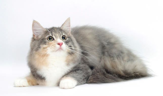 Norwegian Forest Cat Breed Information