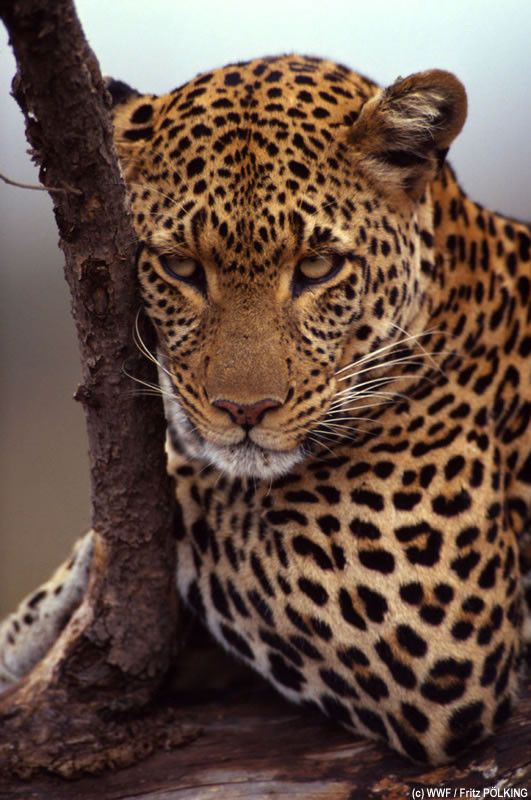 Leopard.  Saw one in a tree on the slopes of Mt. Kenya.  Stunning.