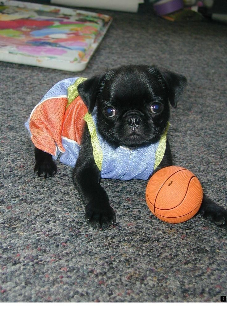 Read Information On Pug Dog Just Click On The Link To Find Out
