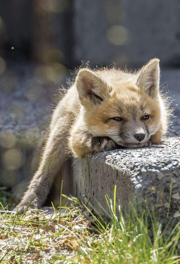 Red Fox Cub by Rufous03