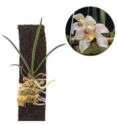 Paraphalaenopsis Laycockii Rp 125,000