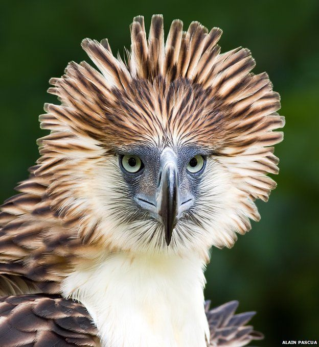 "If there was a avian superlative for ""best hair"" this guy would definitely take the cake! See more of the world's most distinct and rare birds like the Philippine's eagle. (photo: Alain Pascua)"