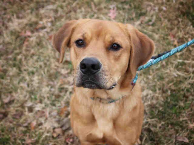 Adopt Benji On Animals Labrador Retriever Puppies