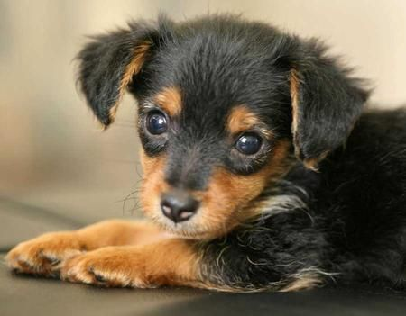 Piper the Yorkie / Mini Dachshund Pictures 8939 - future dog I want :)