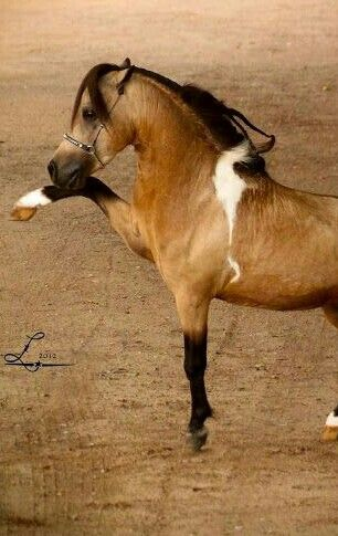 Buckskin Paint Arabian in Miniature Horse style.