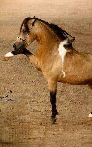 Buckskin Paint Arabian in Miniature Horse style.