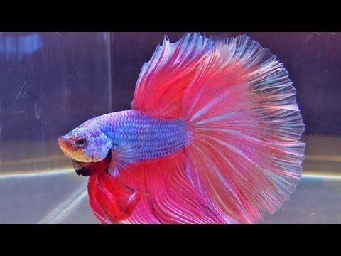 The international betta competition magnificent fighting for Female betta fish names