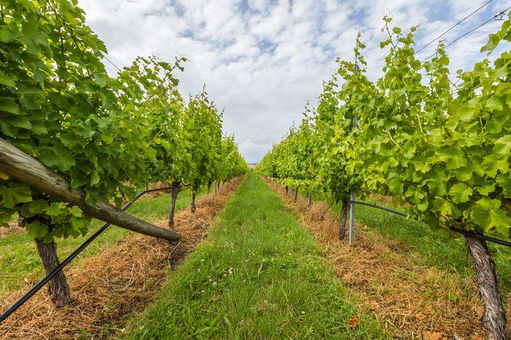 Vineyard field by Benny Marty - Photo 144805597 - 500px