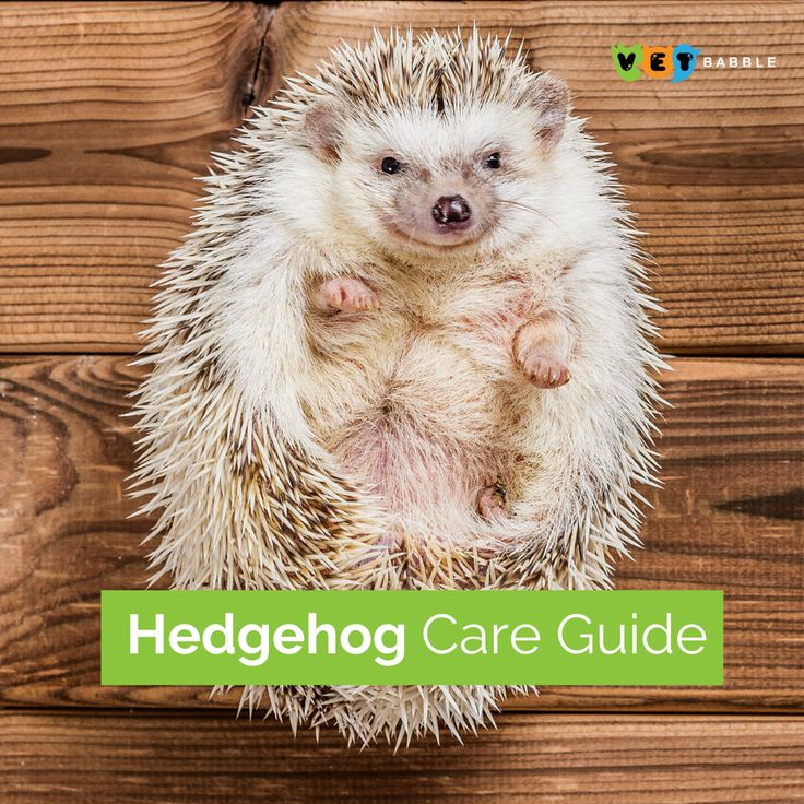 Hedgehog care caring for pet hedgehogs vetbabble