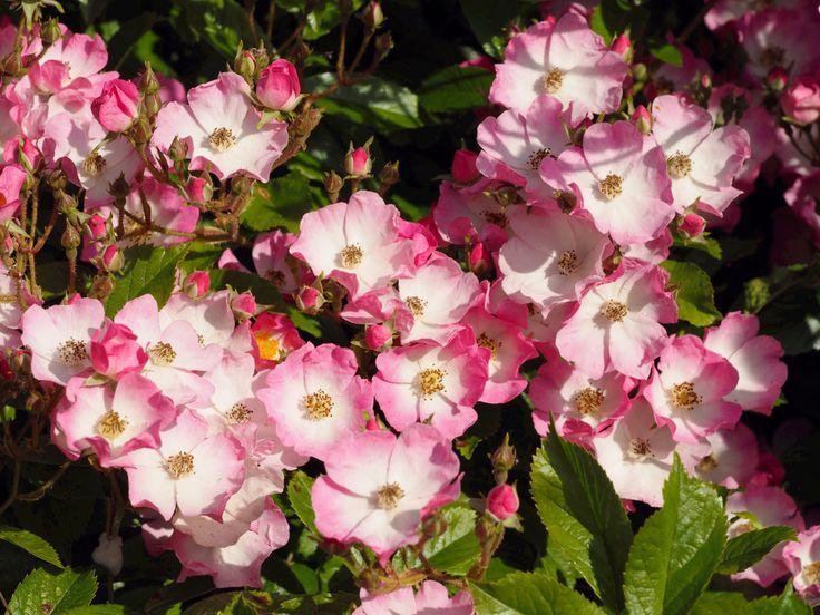Wild Pink Rose's