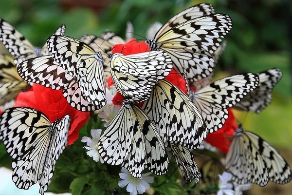 Butterflies: Black And White, Red Flowers, Beautiful, Cribs Beds, Gardens, White Butterflies, Black White Red, Paper Butterflies, Zebras