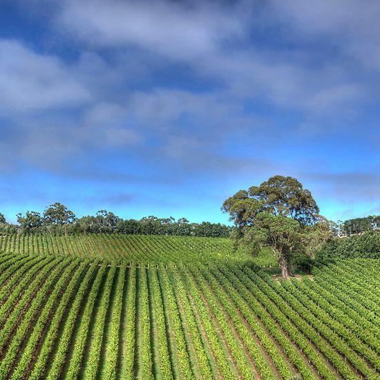 Adelaide Hills Vineyard, South Australia