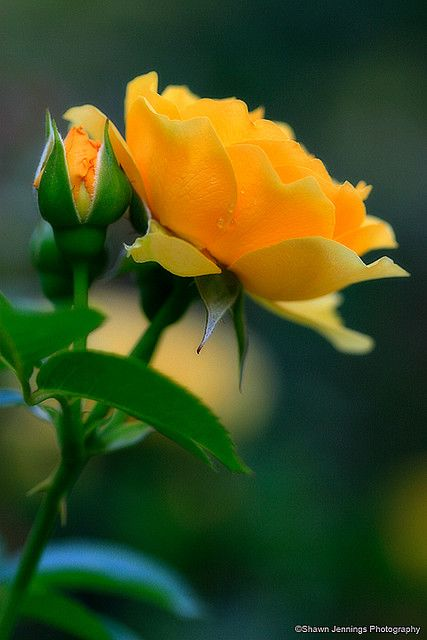 Yellow Rose - by Shawn